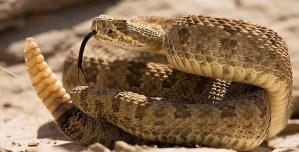 ¡Susto! Hallaron más de 90 serpientes de cascabel debajo de una casa en California