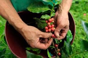 Caficultores en Venezuela pierden un 80% de las cosechas por falta de combustible