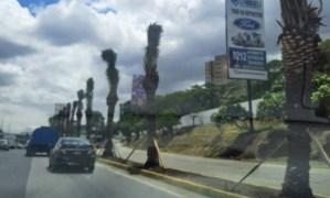 Las nuevas palmeras decorativas en Caracas pueden incrementar la temperatura en las vías, asegura especialista